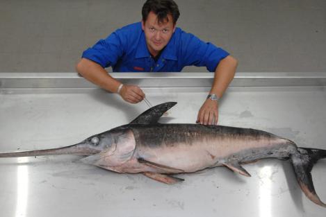 Fische aus dem Mittelmeer erobern die Ostsee